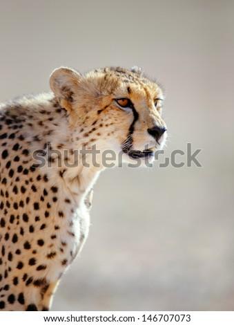 Cheetah portrait  - Kalahari desert - South Africa - stock photo