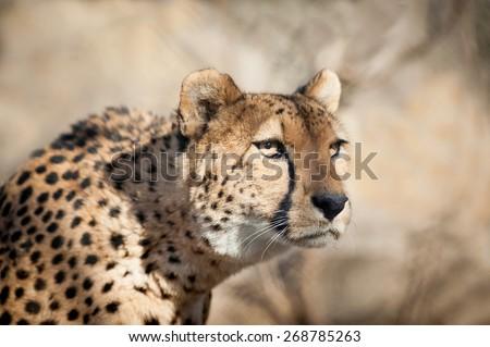 Cheetah Portrait sneaking - stock photo