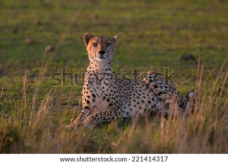 Cheetah profile  - stock photo