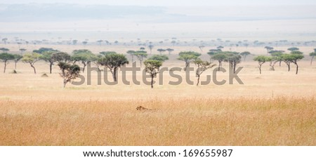 cheetah prowling around in the savannah in africa - national park masai mara in kenya - stock photo