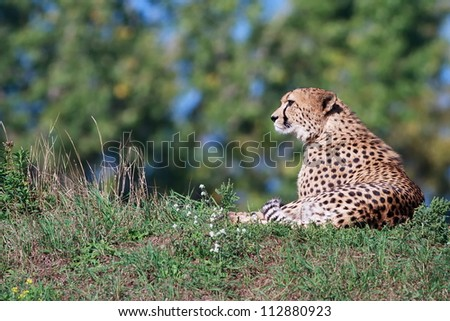 cheetah resting in the grass - stock photo