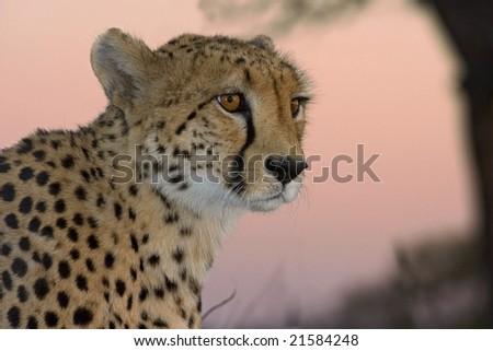 Cheetah sunset - stock photo