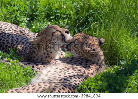 Cheetah - The love - stock photo