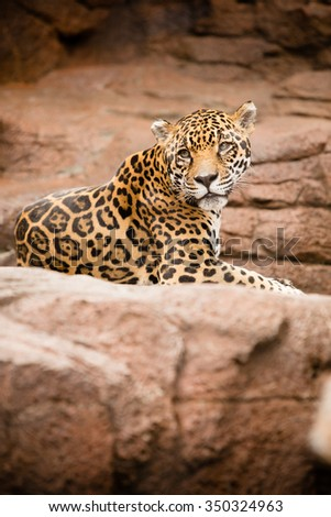 Cheetah - This is an image of a tired cheetah resting on a rock at the zoo. Shot with a shallow depth of field. - stock photo