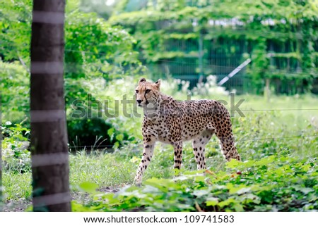 Cheetah walking in the grass in Vienna ZOO - stock photo