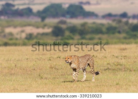 Cheetah walking on the big savannah - stock photo