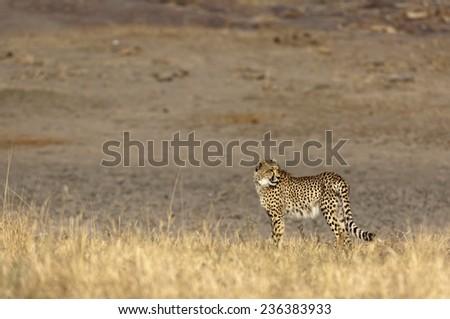 Cheetah with back leg injury - stock photo