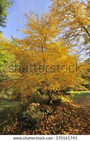 Cherry Birch - Betula lentaAutumn leaves - stock photo