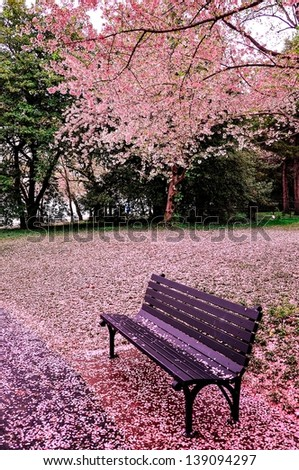 Cherry bloom in Washington DC, USA - stock photo