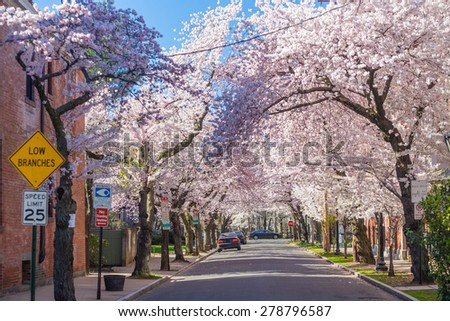 Cherry blossom at Wooster Square in New Haven - stock photo