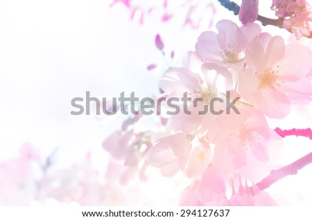 Cherry blossom background in gradient light. - stock photo