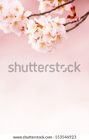 Cherry blossom branch hanging above,with beautiful pastel pink background.  - stock photo