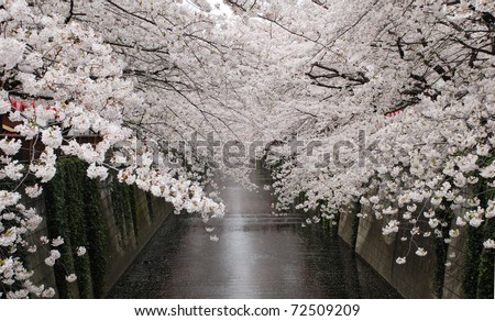 cherry blossom flower at naga meguro canal - stock photo