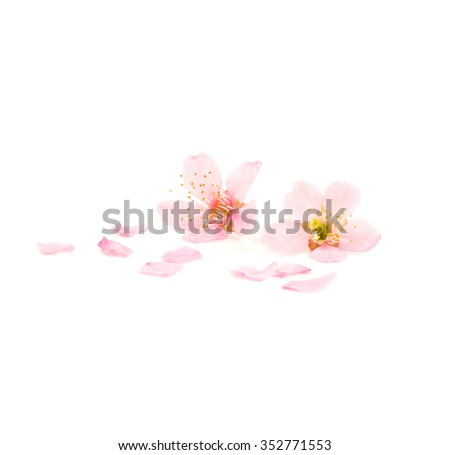 Cherry blossom flowers and petal isolated - stock photo