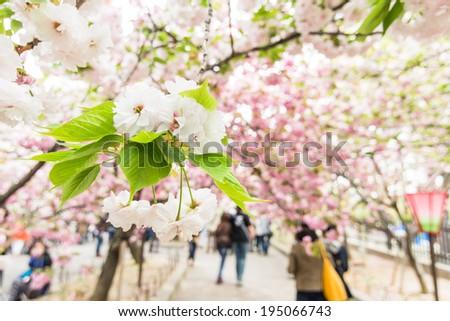 Cherry blossom flowers in garden at Japan Mint, Osaka, Japan. - stock photo