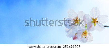 Cherry blossom flowers under a beautiful clear blue spring sky.  Shallow depth of field. - stock photo