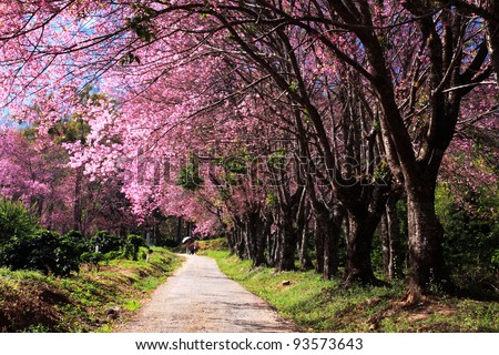 Cherry blossom garden - stock photo