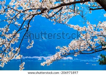 Cherry blossom in Arashiyama, Kyoto, Japan. Japanese view - stock photo