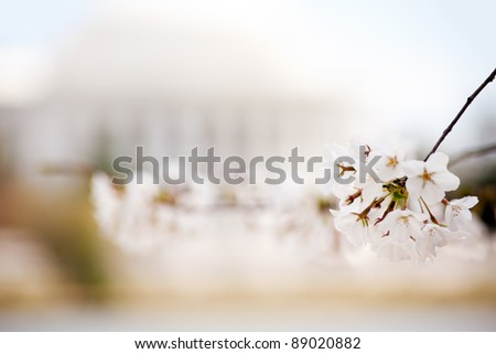 Cherry blossom in front of the Jefferson Memorial in Washington DC - stock photo