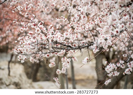 Cherry blossom in Hunza Pakistan - stock photo