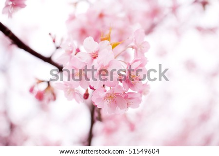 Cherry blossom in japan on spring - stock photo