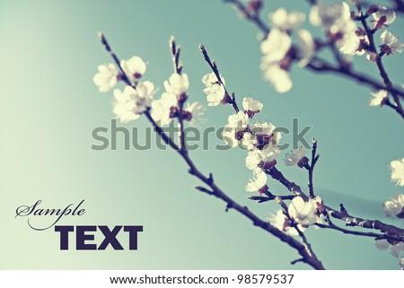 Cherry blossom in retro style - stock photo