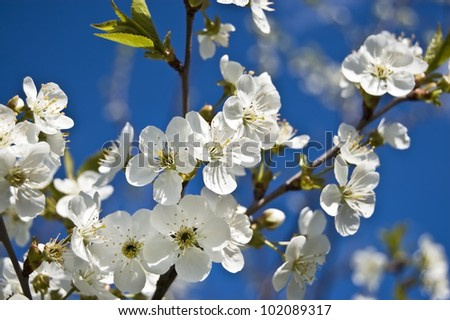 cherry blossom in the photo - stock photo