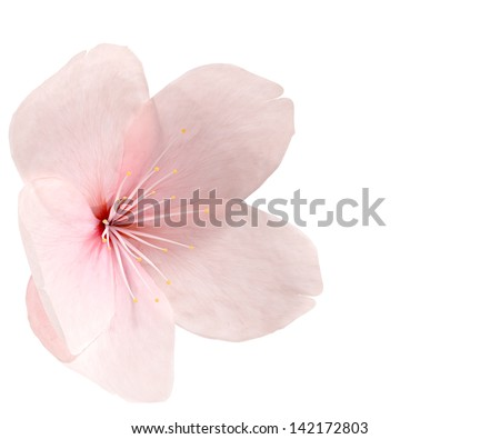 Cherry blossom isolated on white - stock photo