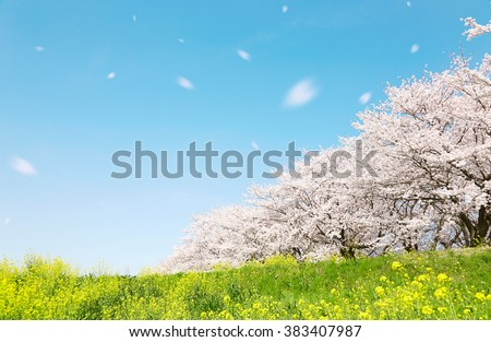cherry blossom, Japanese spring scenics - stock photo