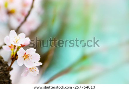 Cherry blossom  looming near a tree trunk with beautiful pastel blue background. Shallow depth of focus.  - stock photo