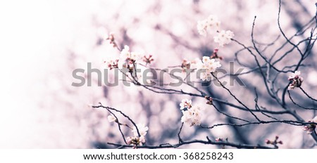 Cherry blossom of an old cherry tree fading in to white. Intentionally shot in muted tone. Shallow depth of field. Focus on forehand bloom of cherry blossom.   - stock photo