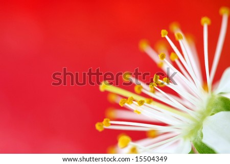 cherry blossom on red background - stock photo