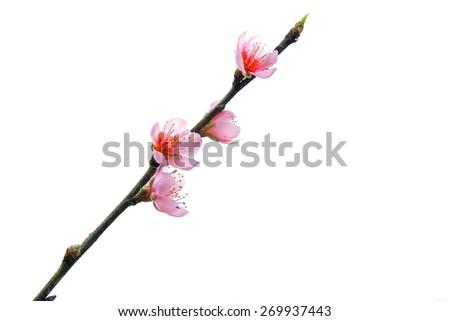 cherry blossom on white background - stock photo