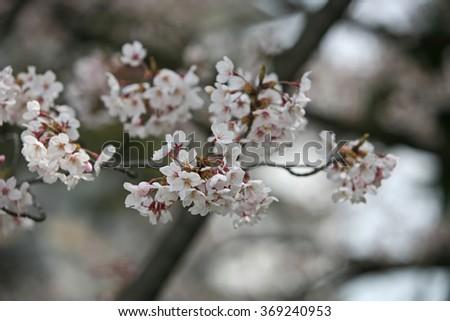 Cherry blossom or Sakura blooming in Japan - stock photo