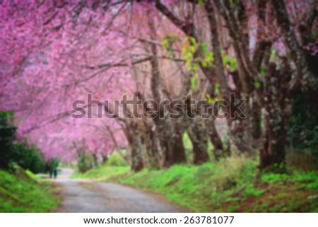 Cherry Blossom Pathway in ChiangMai blur background - stock photo