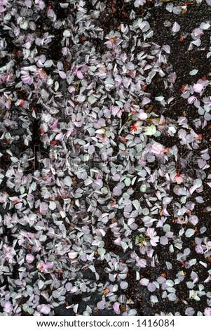 Cherry blossom petals - stock photo