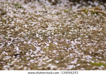Cherry blossom petals fell to the ground - stock photo