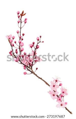 cherry blossom Sakura - stock photo