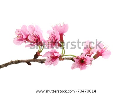 Cherry blossom ,sakura flower, isolated on white background - stock photo