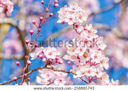 Cherry blossom, sakura flowers. - stock photo