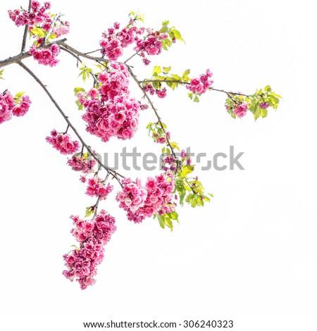Cherry blossom, sakura flowers isolated on white background. - stock photo