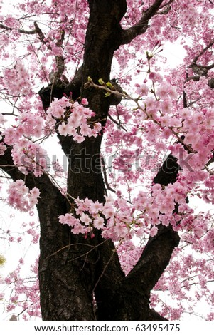 Cherry Blossom (Sakura) in Japan - stock photo
