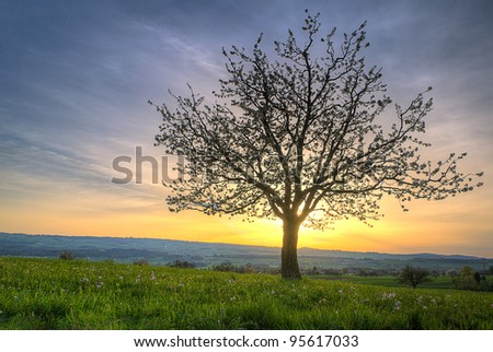 Cherry blossom  tree at sunset and green spring meadow  on a hill radiating against the sunset - stock photo