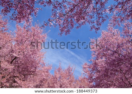 Cherry blossom trees in Flushing meadows corona park at New York City during spring. - stock photo