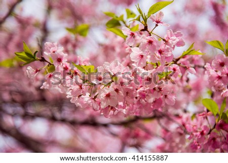 Cherry Blossom with Soft focus, Sakura season in japan - stock photo