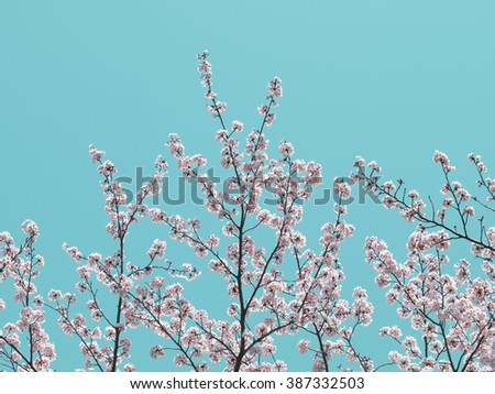 Cherry blossom with soft pastel blue background. Intentionally shot and processed in retro illustration like tone.  - stock photo