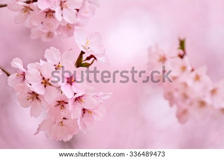 Cherry blossoms.  - stock photo