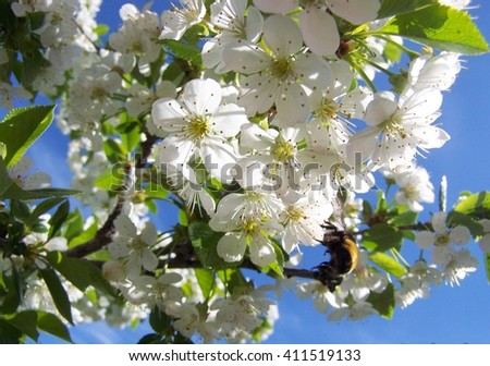Cherry blossoms and a bee - stock photo