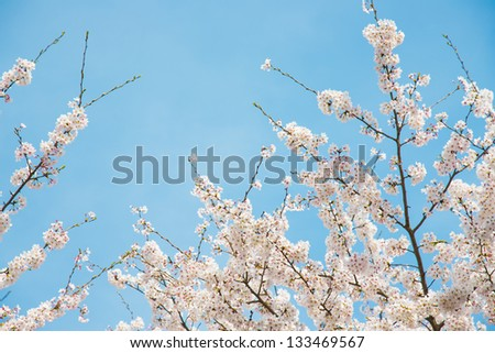 cherry blossoms and blue sky - stock photo