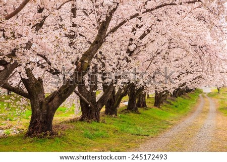 Cherry blossoms bloom path, Japan - stock photo